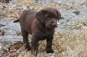 Good looking Labrador Retriever puppies for sale