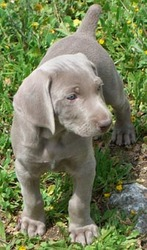 Gold And Blue Weimaraner Puppies For Sale.